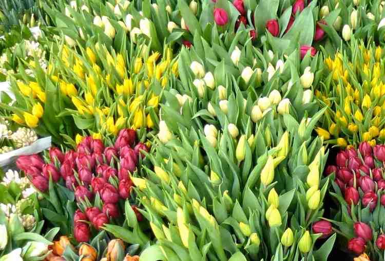 Tulips in Wimbledon Village